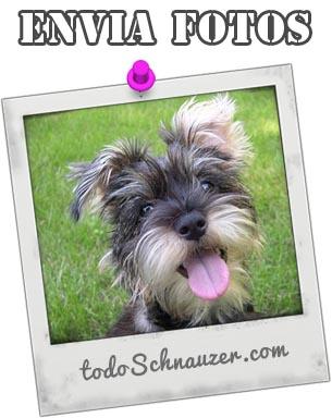 Envia tus fotos del Schnauzer