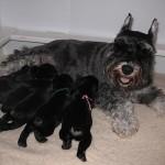 Schnauzer con sus cachorros