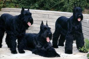 foto de 3 perros schnauzer gigantes guardianes